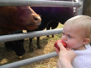 cows and toddler