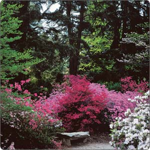 garden_azalea-1