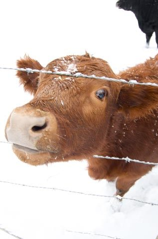 snowy Else calf tests fence